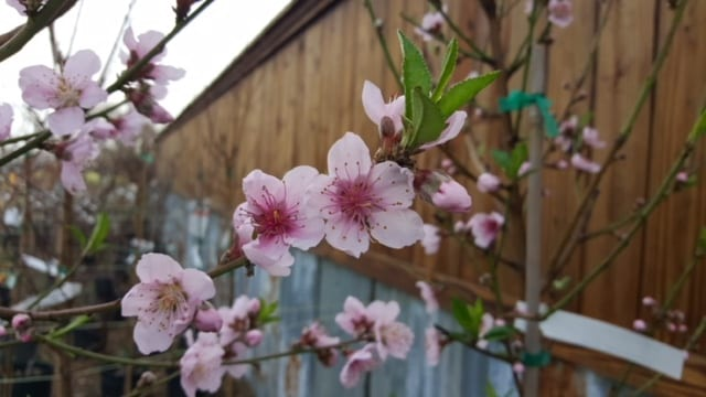 Ennis, Texas Flowering Trees Supplier