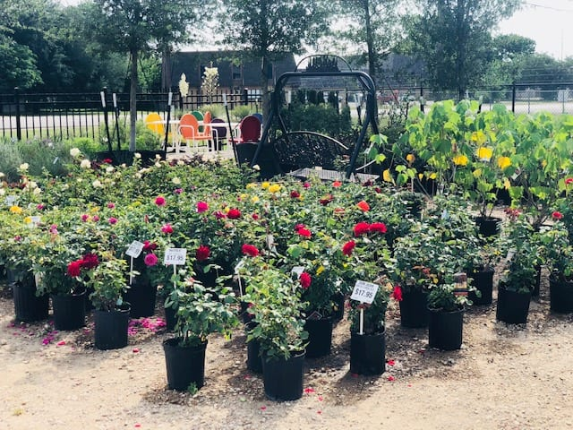 Knockout Roses in Ennis, Texas